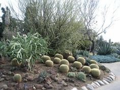 Barrel Cactus, Huntington Library Desert Garden, in afternoon after and during rain - Various cactus and succulent plants