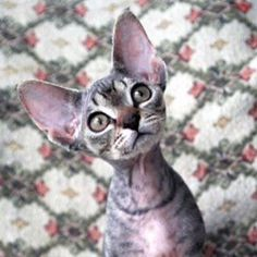 Cute little silver tabby Devon Rex that we almost got last year, but she was adopted with her brother and we just didn't have the heart to separate the two...: