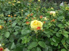 Růže z Růžové zahrady - Děčín