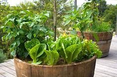 Vegetable gardens in wine barrels! I want fresh veggies and herbs to cook with always :)