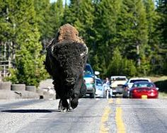 Yellowstone National Park, bison wandering up the road of tourists cars