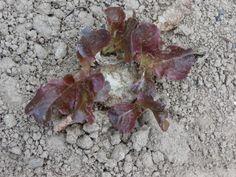 Hace unos días corté la lechuga hoja de roble que había aquí, y hoy cuando recordé que tenía que arrancar la raíz que quedó de la lechuga, me encontré con que le estaban saliendo unas hojas a las raíces, ¿será posible? xDDDDDD.
