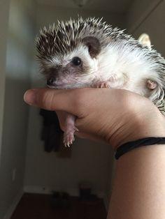 Prickles being curious Cute Animal Memes, Cute Animal Videos, Cute Animal Pictures, Happy Hedgehog, Cute Hedgehog, Radagast The Brown, Pygmy Hedgehog, Baby Kittens, Animal Paintings
