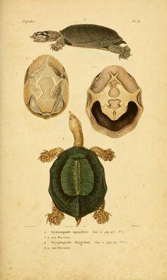 atlas (1854) - Erpétologie générale, ou, Histoire naturelle complète des reptiles / - Biodiversity Heritage Library