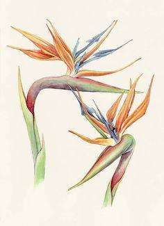 Resultado de imagem para bird of paradise