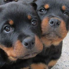 Rottweiler Funny Discover The Loyal Rottweiler Dog Exercise Needs Cute Puppies, Dogs And Puppies, Cute Dogs, Chihuahua Dogs, Doggies, Toy Dogs, Baby Animals, Cute Animals, Rottweiler Puppies