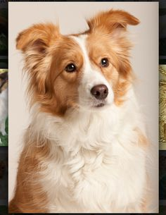 Gold Border Collie - looks like Lucky, the BC I had growing up