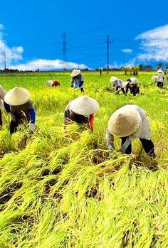 Rice harvest season in Vietnam We Are The World, People Around The World, Around The Worlds, Village Photography, Travel Photography, Laos, Village Photos, Felder, Bali Travel