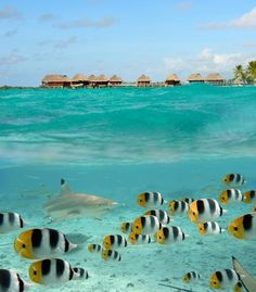 A blacktip reef shark chasing butterfly fish, with an overwater bungalow resort in the distance, in Bora Bora, French Polynesia. (From: PHOTO: 10 Most Romantic Islands in the World!)