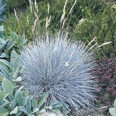 "Blue Festuca Grass  UNUSUAL BLUE COLOR!  Grassy, tufted clumps are strikingly unusual! Perfect for rock gardens, borders, beds and along paths. Unusual blue color is sure to draw compliments! Space 12"" apart.               Light: Full sun   Blooms: Summer   Height: 8-12""   Size: Potted"