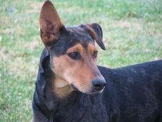 Doberman Shepherd: German Shepherd x Doberman Mix Doberman Shepherd, Doberman Mix, Rottweiler Mix, Doberman Pinscher, Dog Eyes, Collie Mix, Mixed Breed, Dog Portraits, Dog Breeds
