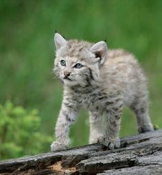 Tiny, fluffy bobcat kitten Just too cute for words.