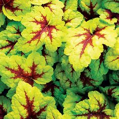 x Heucherella 'Stoplight'    Nearly glows in light shade; its red-streaked leaves turn lime green in summer. Zones 1–10, 14–24.