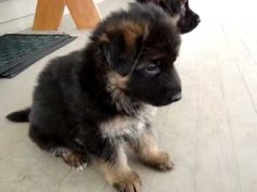 German Shephard puppies Video - OMG I want to just scoop up the puppy that runs into the house in the beginning of the video.  I want all of them!  So cute!