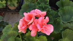 Classic Salmon Geraniums are one of our best sellers as far as geraniums go. They look great on their own and paired with reds, yellows, and purples. People flock to get these annuals because the foliage gets so full and these plants fill out containers perfectly.
