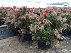 dorothy wycoff pieris japonica Pieris Japonica, Front Yards, Terrace Garden, Landscaping, Gardens, Sun, Park, Plants, Outdoor Gardens