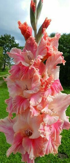 Garden Flowers - Annuals Or Perennials Gladiolus - Ritvars S - Picasa Web Albums Flowers Nature, Exotic Flowers, Amazing Flowers, Colorful Flowers, Beautiful Flowers, Dahlia, Gladiolus Flower, Belle Plante, Flower Pictures