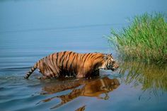 golpata tree | Sundarban Home of the Royal Bengal Tiger & The Largest Mangrove Forest