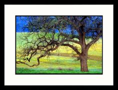 Landscapes Oak Tree California Framed Photographic Print