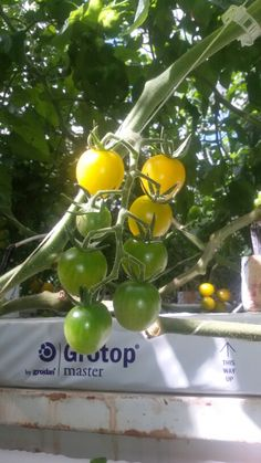 Tomato, in love with sunshine!