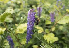 Common carder bee (Bombus pascuorum) from The Big Bee Page