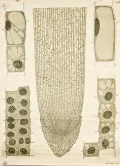 Cell growth -- Anatomia Vegetal 1929, pub. by FE Wachsmuth
