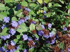 Low-maintenance Perennials (MO) - Ceratostigma plumbaginoides plumbago Herbaceous perennial Exellent ground cover with bright blue summer blooms and fabulous fall color. Use with evergreen shrubs that need a punch. Herbaceous Perennials, Hardy Perennials, Flowers Perennials, Planting Flowers, Cold Climate Gardening, Gardening Zones, Cottage Garden Plants, Garden Shrubs, Colorful Plants