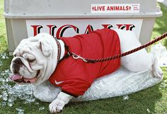 Uga(/ˈʌˌɡə/ or Ə-gə)is the official live mascot of the University of Georgia Bulldogs.Since the dogs serving as Uga have been part of a lineage of English Bulldogs owned by Sonny Seiler. This is Uga IX.(I believe the image is. Georgia Bulldog Mascot, Georgia Bulldogs Football, College Football Season, Sec Football, Kentucky, Bulldogs Ingles, English Bulldog Puppies, English Bulldogs, Georgie