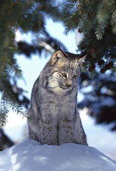 Lynx in Montana's Winter Snow