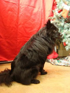 #PENNSYLVANIA ~ I'm Fox a 3yo Schipperke brought into the shelter & now I'm looking for my forever home!  I'm a bit shy meeting new ppl tho if U are gentle it won't take me long to come around. I'm currently in a #foster home w/ dogs & a cat & get along fine with all. I don't do well with children tho - its thought they tormented me in the past. Looking for love & at The Animal Friends of Westmoreland  216 Depot St  #Youngwood PA 15697 animalfriendswestmoreland@comcast.net  Ph 724-925-2555