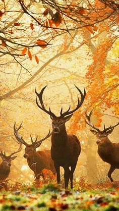 London's Richmond Park is famous for its deer, which roam freely throughout the year within its borders. Autumn is a great time to visit, as the park is amazingly colorful and the deer look lovely on the fallen leaves. Nature Animals, Animals And Pets, Cute Animals, Autumn Animals, Wildlife Nature, Funny Animals, Beautiful Creatures, Animals Beautiful, Animal Photography