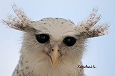 Spot-bellied Eagle-Owl of Prey Owl Who, Nocturnal Birds, Bird Identification, Owl Always Love You, Beautiful Owl, Tier Fotos, Cute Owl, Birds Of Prey, Nature Pictures