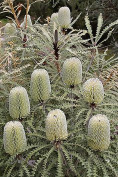 Shade Garden Flowers And Decor Ideas Banksia Speciosa Australian Wildflowers, Australian Native Flowers, Australian Plants, Unusual Flowers, Unusual Plants, Beautiful Flowers, Australian Native Garden, Drought Tolerant Plants, Flower Farm
