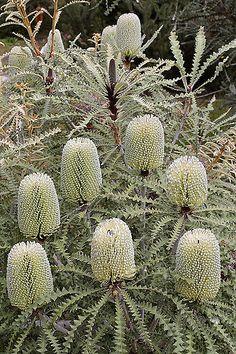 | Banksia speciosa