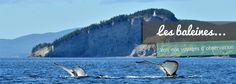 Observer les baleines au Canada, c'est chez Canada en liberté que ça se passe.