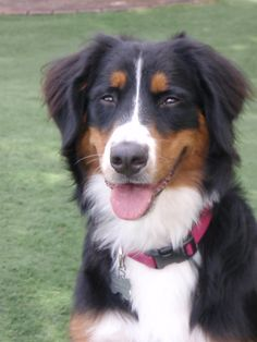 the littlest Berner of all (can't tell her she's got a little Aussie mixed in - she won't believe you!)