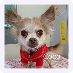 4 / 11 ***SENIOR*** Petango.com – Meet Coco, a 10 years 8 months Chihuahua, Long Coat / Mix available for adoption in NEW FREEDOM, PA Address 2 Heritage Farm Drive, NEW FREEDOM, PA, 17349 Phone (717) 993-3232 Website http://www.animalrescueinc.org Email adopt@animalrescueinc.org