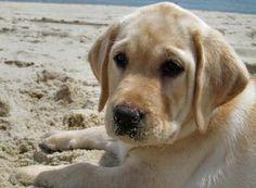 Labrador Retriever on the beach... AKA CUTEST THING EVER!!!!!!!!!!