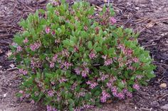 Arctostaphylos Sonoma Manzanita Bush is a dark green little bush with bright pink flowers. Somona manzanita prefers heavy adobe soil but tolerates most other soils. zone 7-10