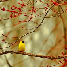 Bird photography cute bird in tree print tiny mustard yellow finch in budding maple leaf forest tree, wall art 5x5