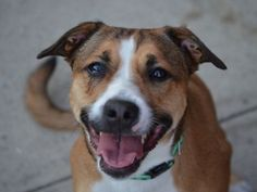 Brooklyn Center LUNA – A1047304 SPAYED FEMALE, BROWN, PIT BULL MIX, 2 yrs OWNER SUR – ONHOLDHERE, HOLD FOR ID Reason OWNER SICK Intake condition EXAM REQ Intake Date 08/09/2015