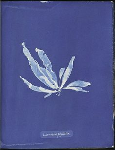Photograph of British algae Laminaria phyllitis : cyanotype impression - The New York Public Library , Spencer Collection