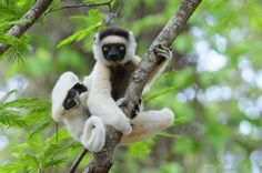 One of the many species of Lemur found only in Madagascar