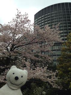 クマ散歩:国立劇場さくらまつりに品行方正なクマ出没 The Bear went to National Theatre of Japan Cherry Blossom Festival!♪☆(^O^)/