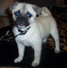Pug-a-Mo:Pug / American Eskimo Dog mix this right here is my DREAM DOG ...