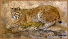 Bobcat mount opinions. - Aldeer