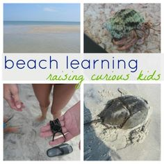 Beach learning: hermit crabs, horseshoe crabs, ghost crabs, sand crabs & more from Teach Mama