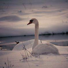 Beautiful Swan, Beautiful Birds, Animals Beautiful, Pretty Birds, Love Birds, Swans, Swan Song, Swan Lake, Black Swan