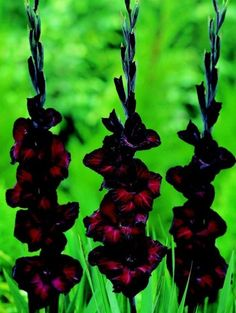 about Gladiolus Bulbs Perennial Resistant Flowers Stunning Hardy Strong Rare Balcony Gladiolus Flower Bulbs ★ Black Star ★Rare Perennial★ Easy to Fresh BulbsGladiolus Flower Bulbs ★ Black Star ★Rare Perennial★ Easy to Fresh Bulbs Black Flowers, Unique Flowers, Beautiful Flowers, Rare Flowers, Black Roses, Gladiolus Bulbs, Gladiolus Flower, Gladioli, Flowers Perennials