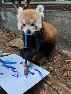 Red panda birmingham zoo, panda painting, nature animals, baby animals, animals and Cute Funny Animals, Funny Animal Pictures, Cute Baby Animals, Animals And Pets, Cute Pictures, Nature Animals, Red Panda Cute, Panda Love, Photo Elephant